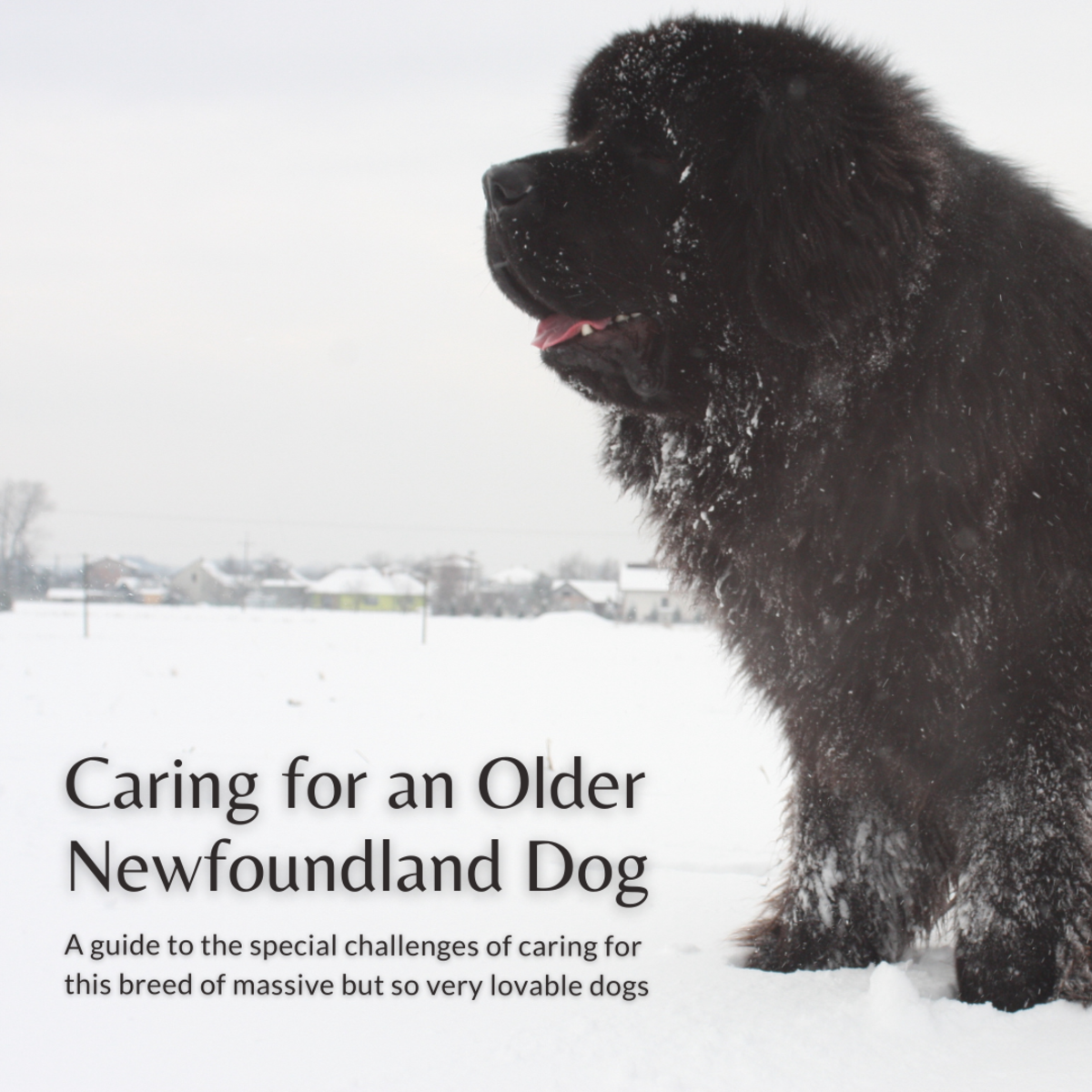 This article will break down how to care for the beloved Newfoundland dogs as they age into their golden years.
