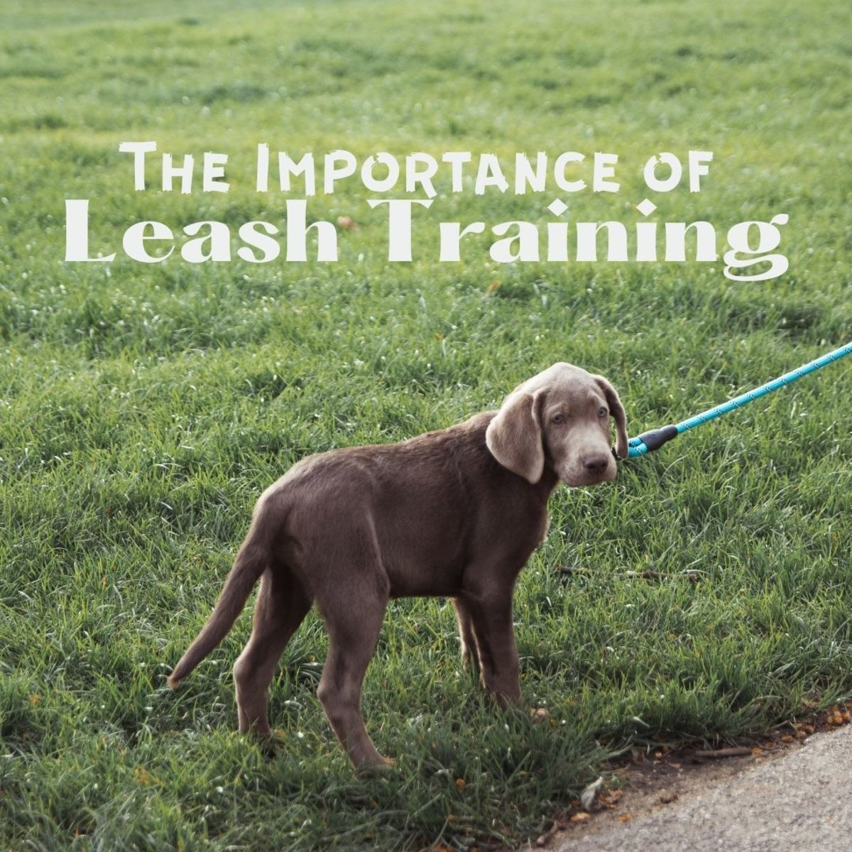 Leash training: why is it important?