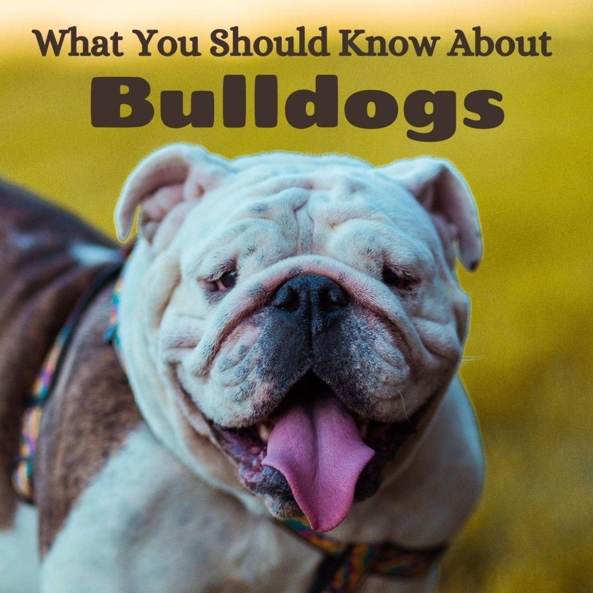 What You Should Know About English, Victorian, and Olde Tyme Bulldogs