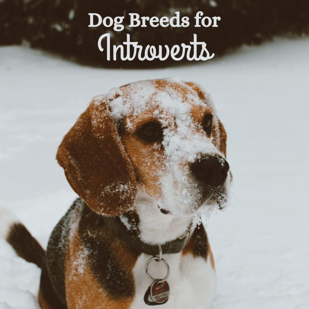 6 Best Dog Breeds for Introverts