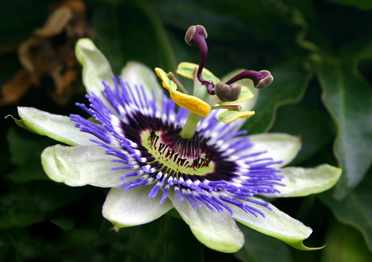 howtogrowpassionflowergrowingtipsfruitmedicine