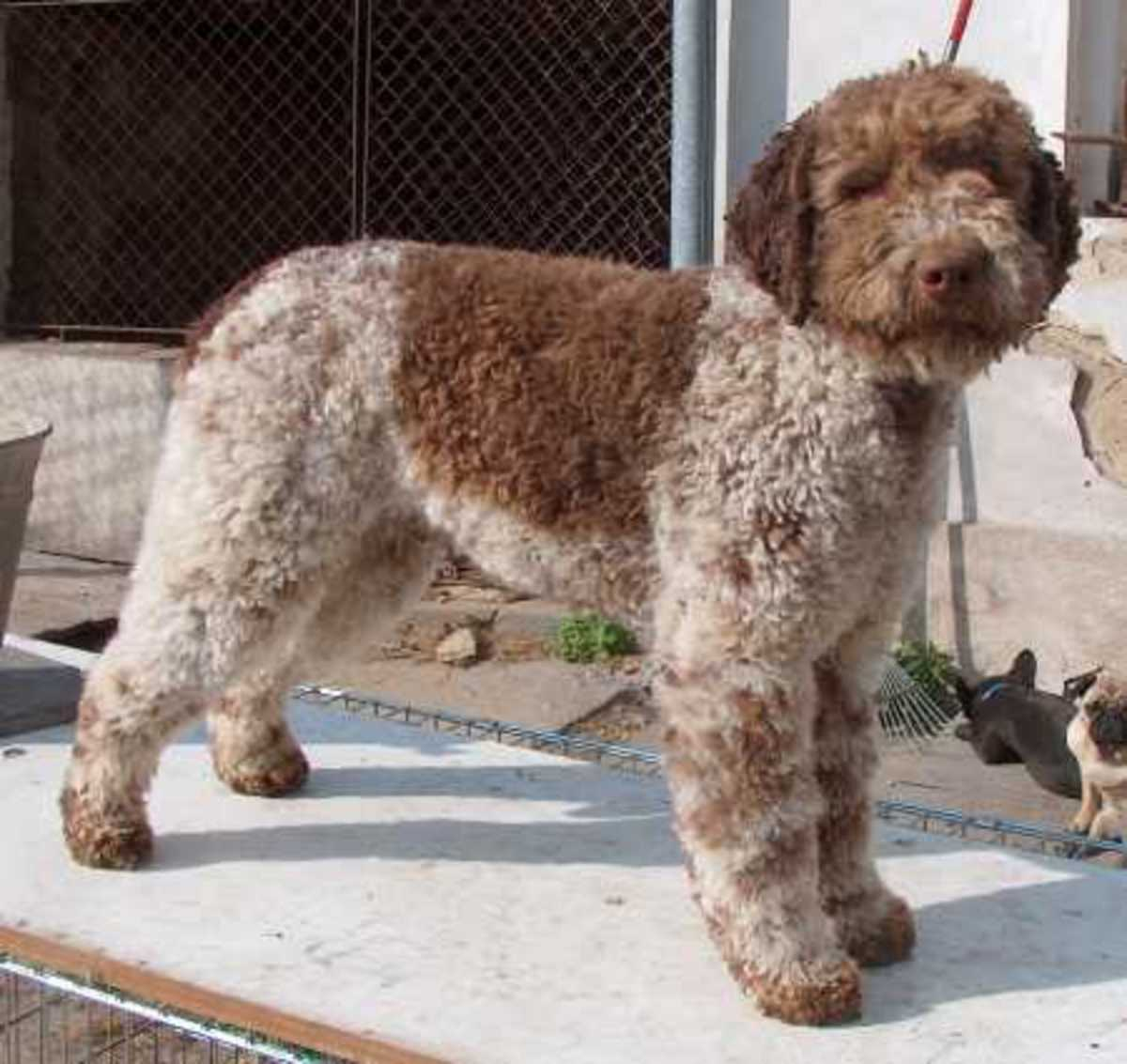 The Lagotto Romagnolo breed is used for truffle hunting in Italy.