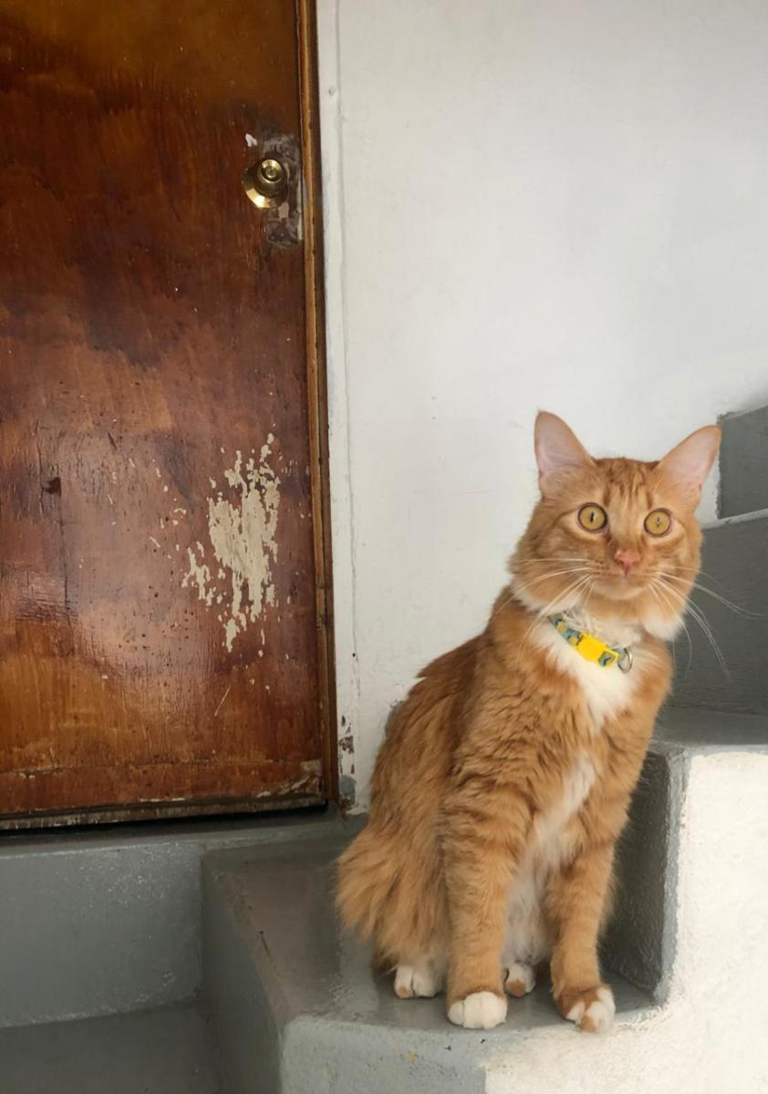 Carajillo is a very active, playful cat. He can come off as aggressive to newcomers into the feline world