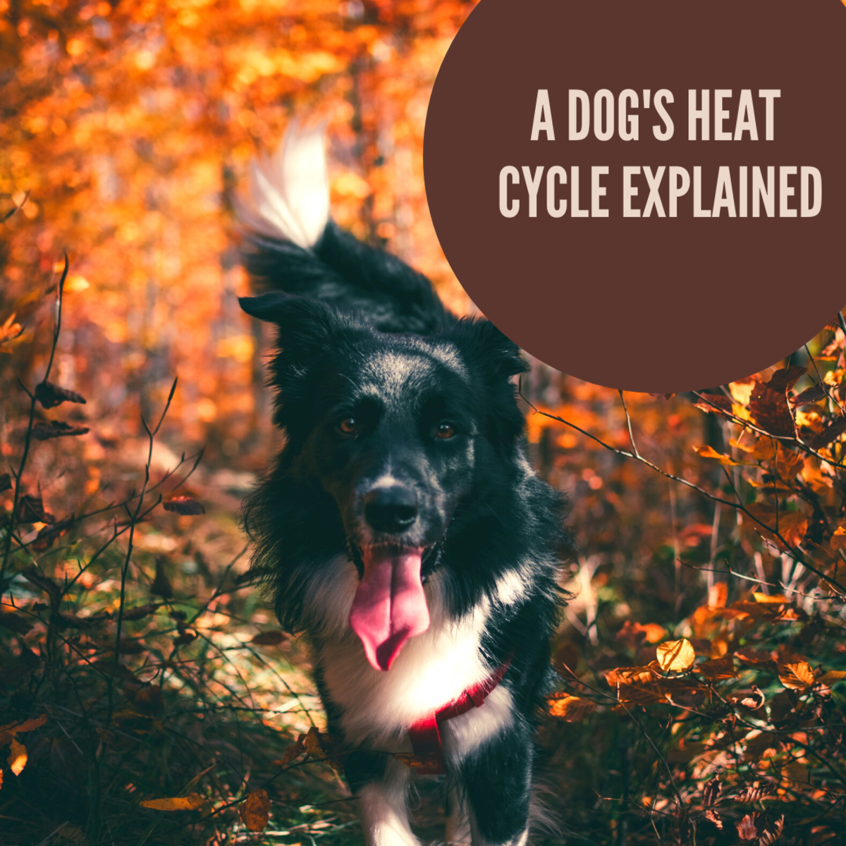 The canine heat cycle does not occur at any particular time of year or season.