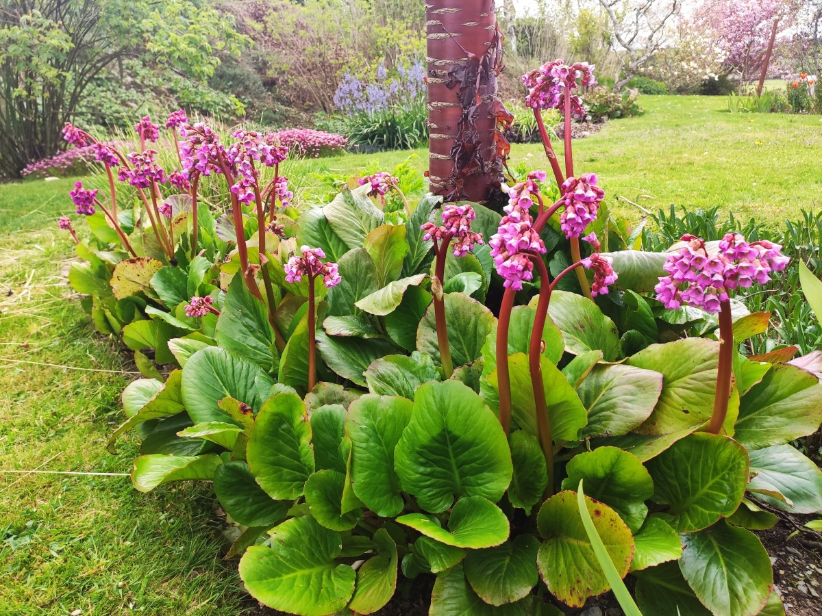 Though bergenia is lovely year-round, it is particularly so in summer, when its blossoms attract legions of bees!