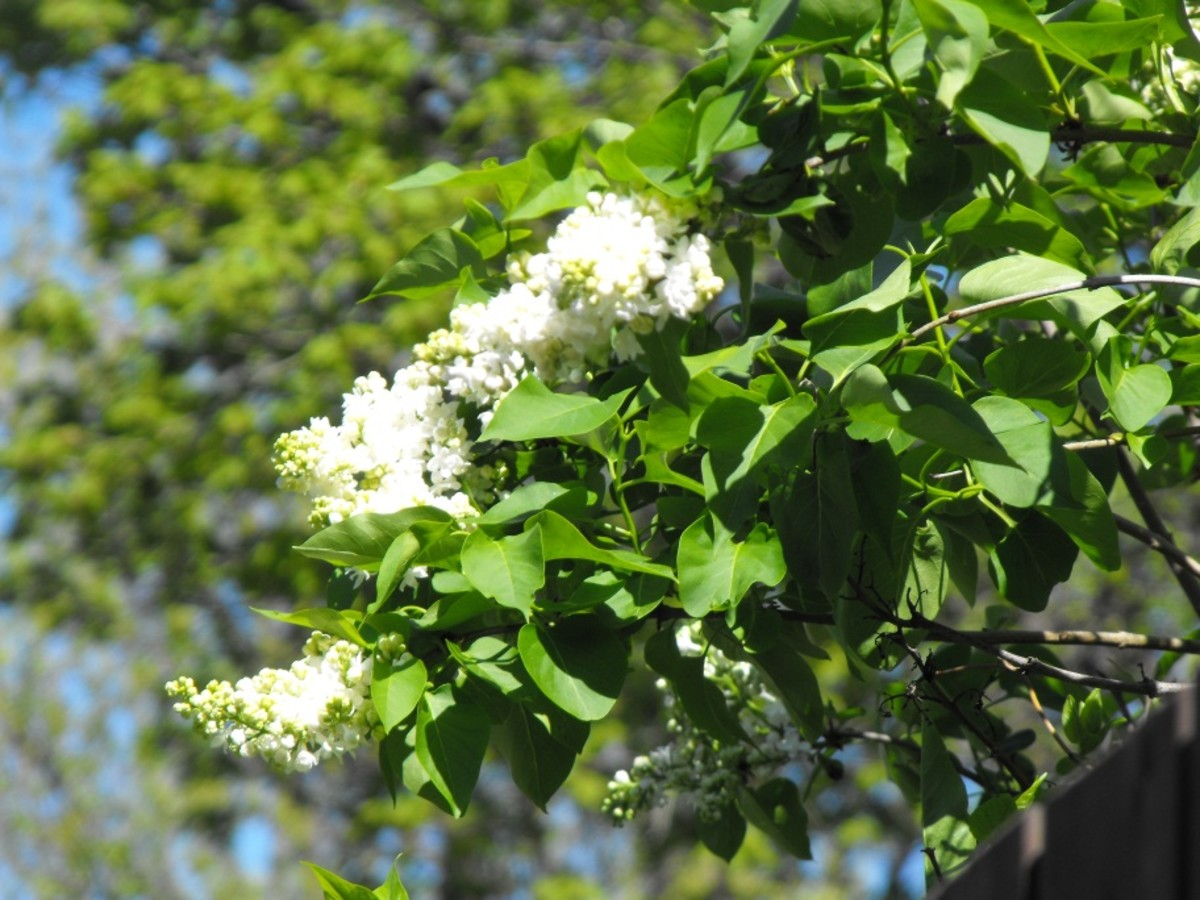 White Lilacs.... sometimes non-fragrant.