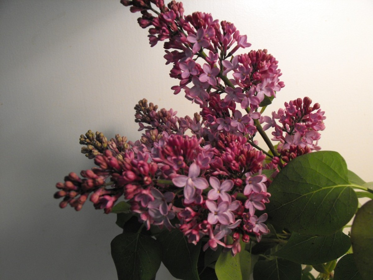 Lilacs- How to Make Them Last in a Bouquet