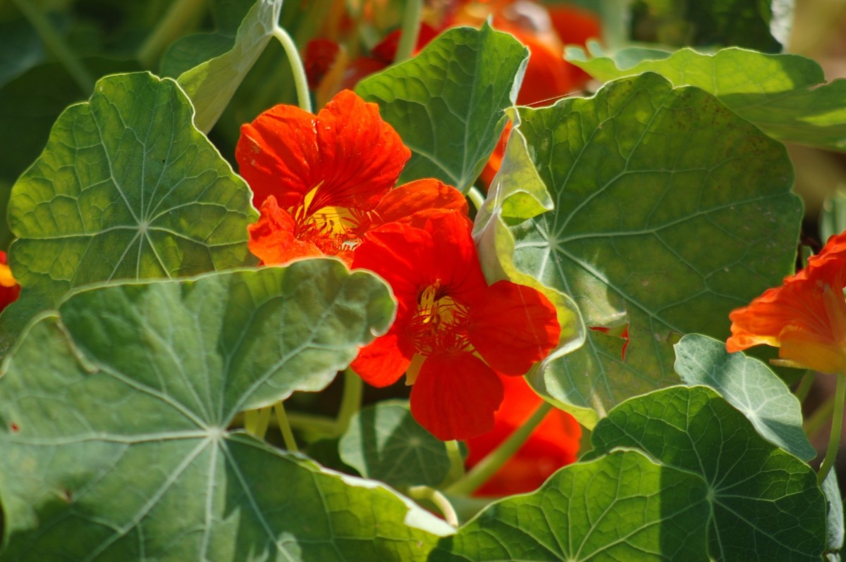 Nasturtium is a wonderful choice to add more color to any garden.