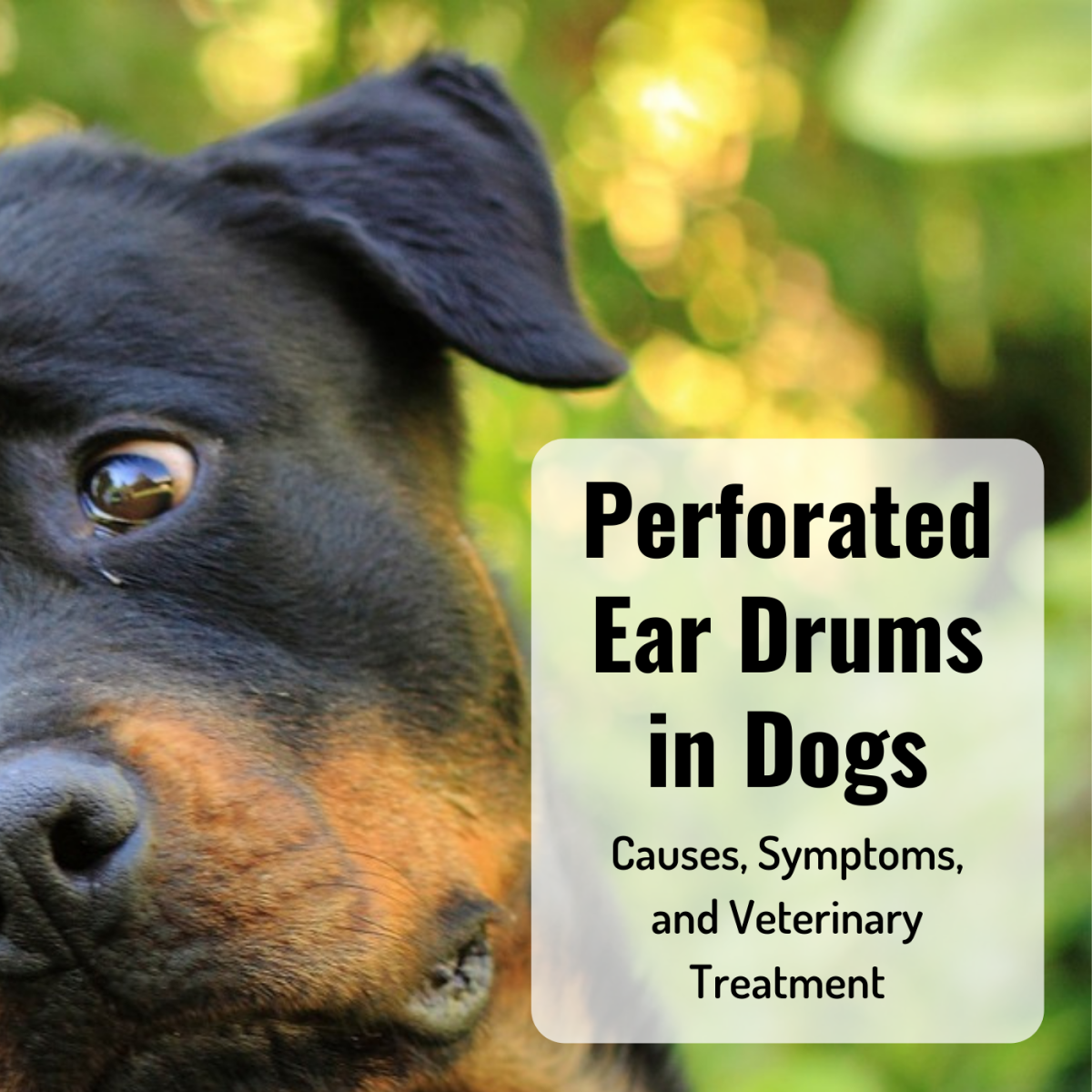 Learn more about your dog's eardrum and how it can get ruptured. Review some common signs of a perforated eardrum, and learn how your vet might treat it.