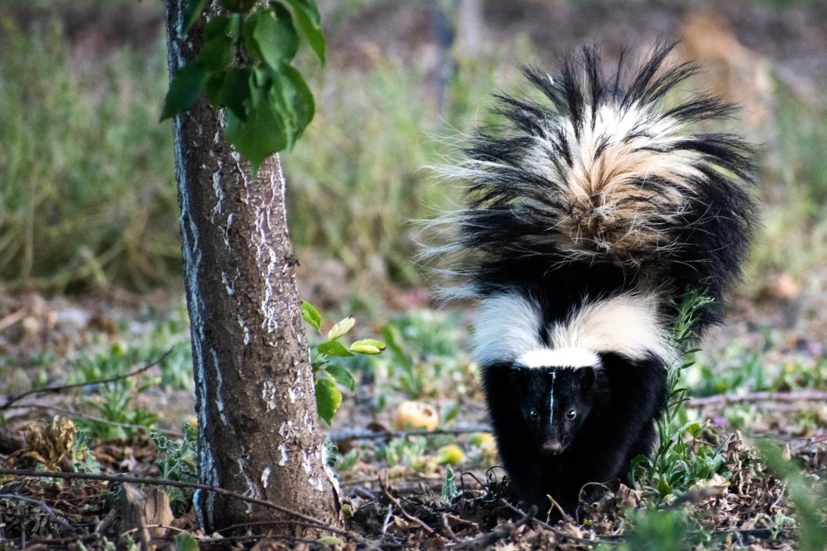Fallen tree fruit left on the ground can attract skunks to your yard.