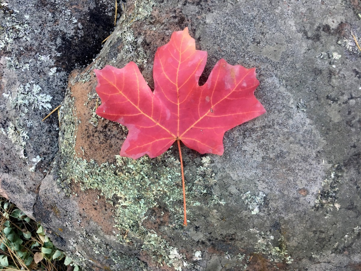 Realistic version of the maple leaf