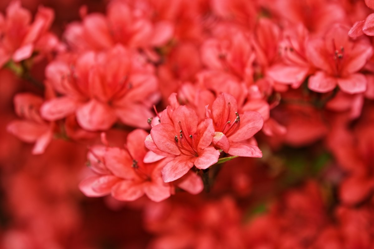 Rhododendron is the national flower of Nepal. It is crimson red, the Nepalese national color.