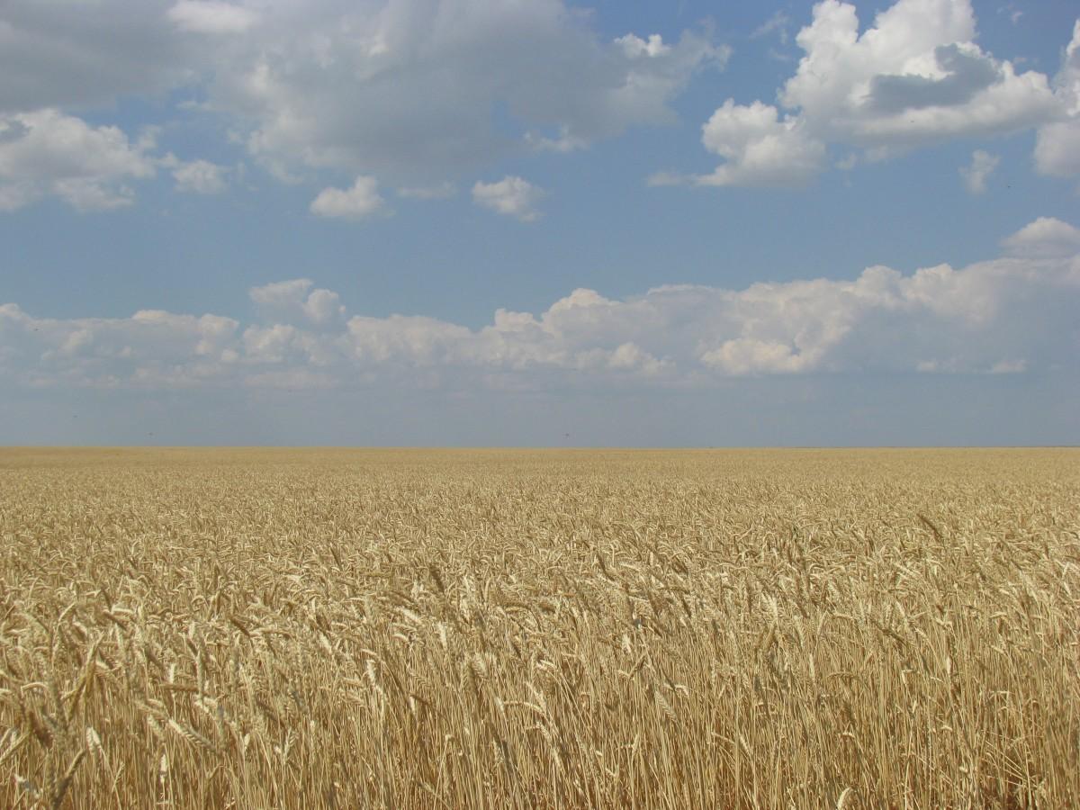 The Ukrainian banner reminds a golden wheat field under the blue sky.