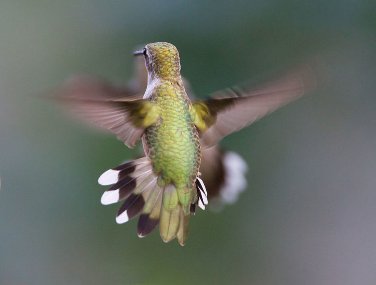 Hummingbird hovering in mid-air