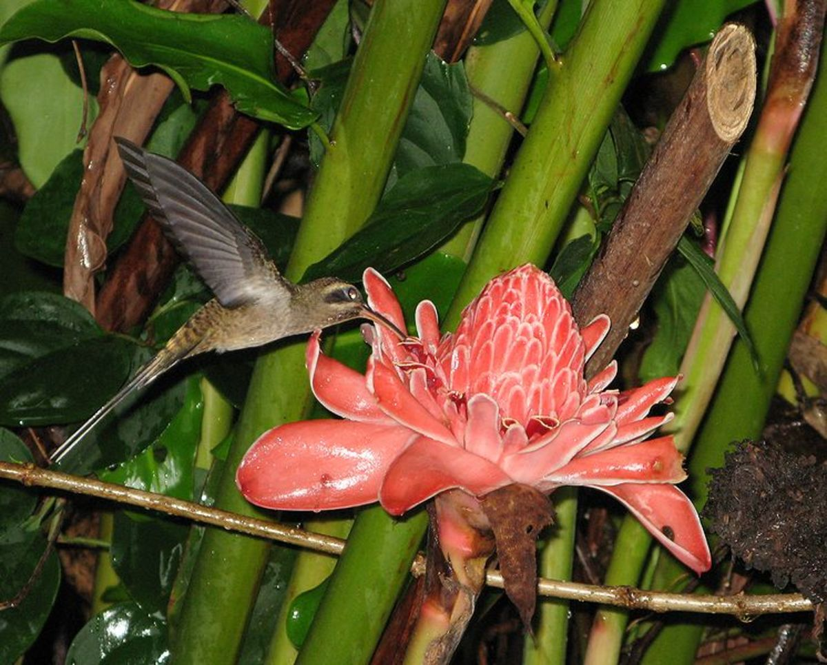 Hummingbird feeding on etlingera