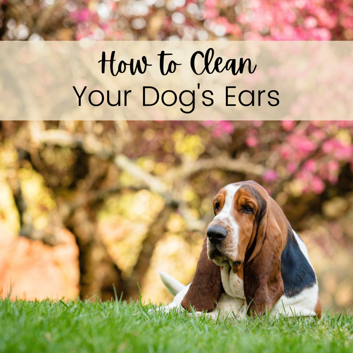 Use apple cider or white vinegar to clean your dog's ears