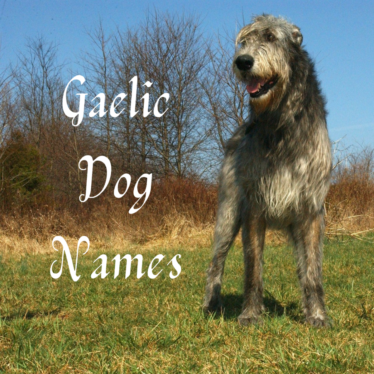 50+ Great Gaelic Dog Names for an Irish Wolfhound