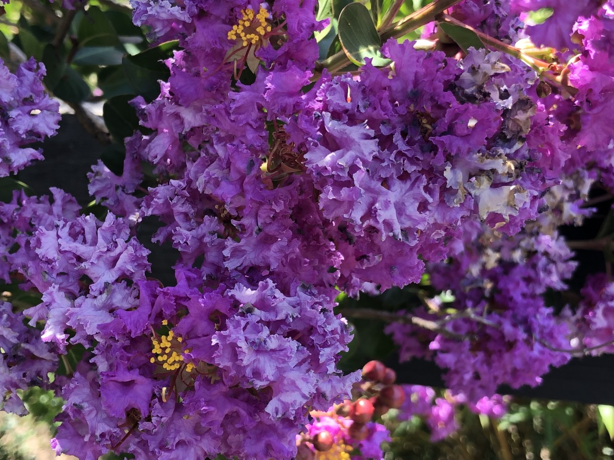 This article will break down how to get your crepe myrtles to enter a second bloom cycle, and produce showy blossoms like these.