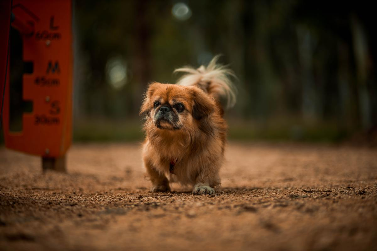 Pekingese are great dogs for apartments.