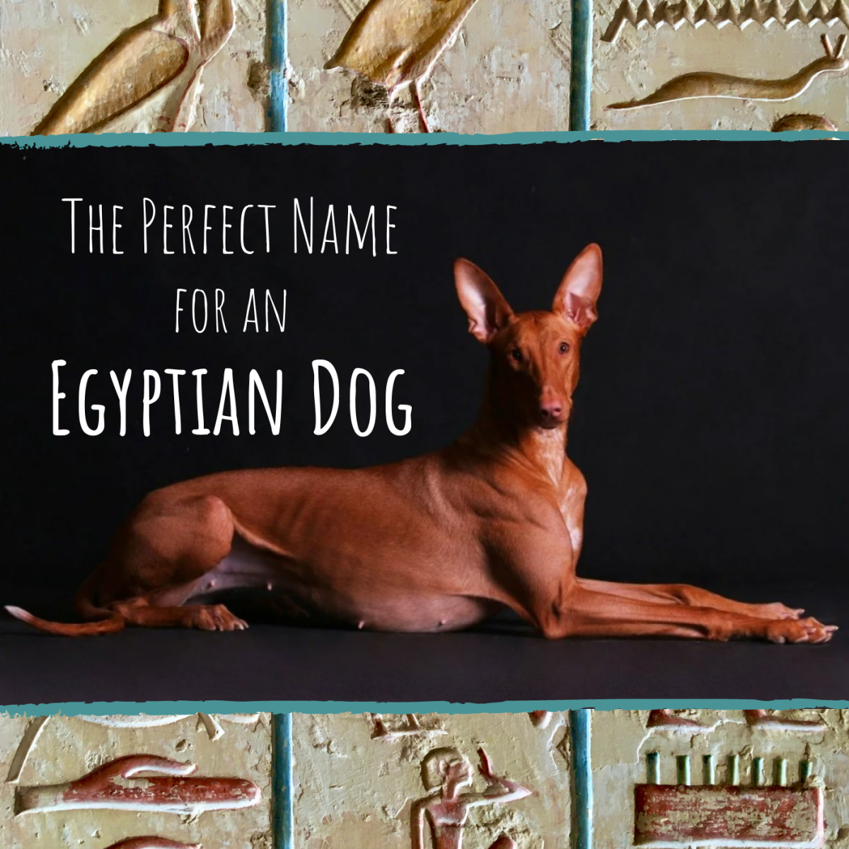 This is an adult Pharaoh Hound.