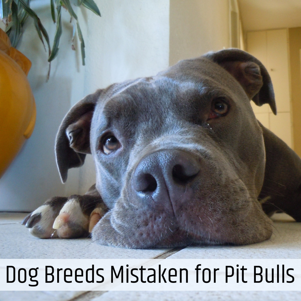 Many other breeds bear some resemblance to the American pit bull terrier. Learn about some of the breeds that are most commonly mistaken for pit bulls.