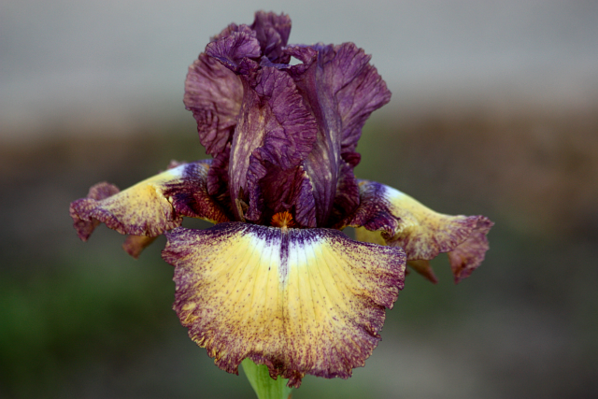 Purple and Yellow Bearded Iris from my Flower Bed