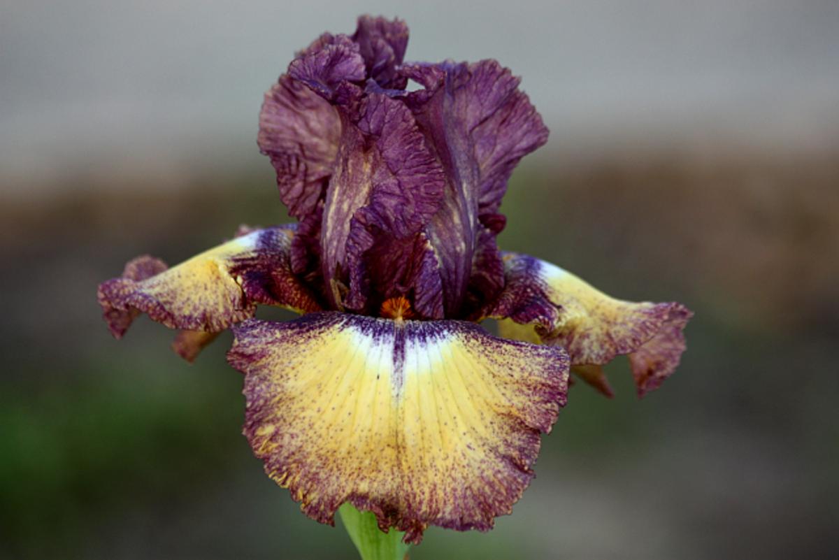 Purple and yellow bearded iris, one of my favorites.