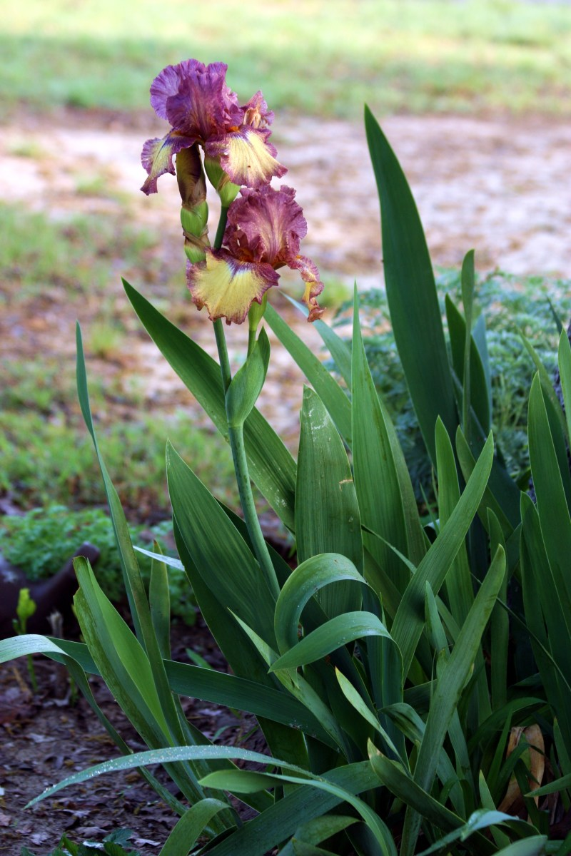 The sword shaped leaves add to the iris's beauty.