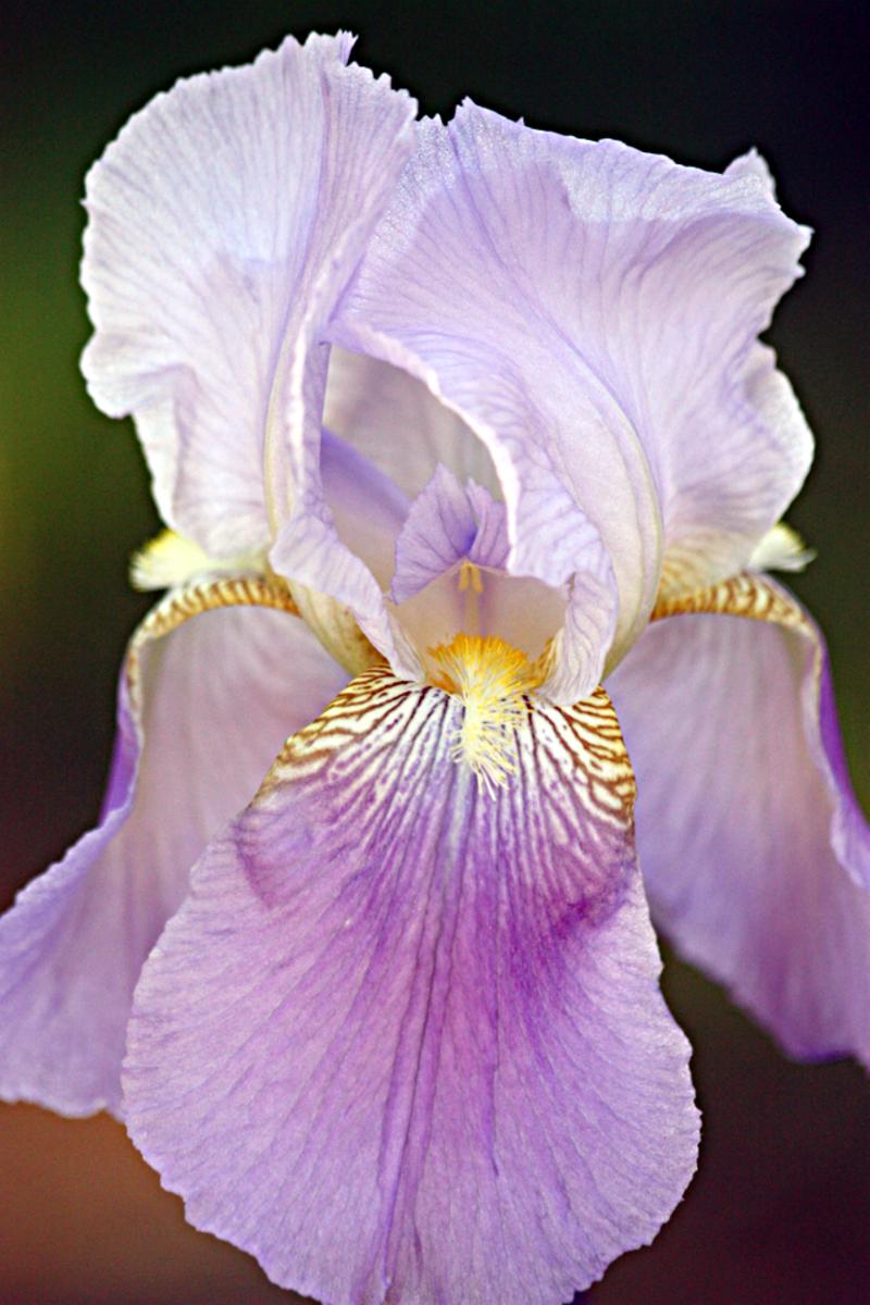 Lavender bearded iris from my garden.