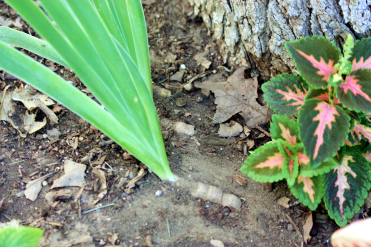 Plant the bearded iris rhizome shallowly.