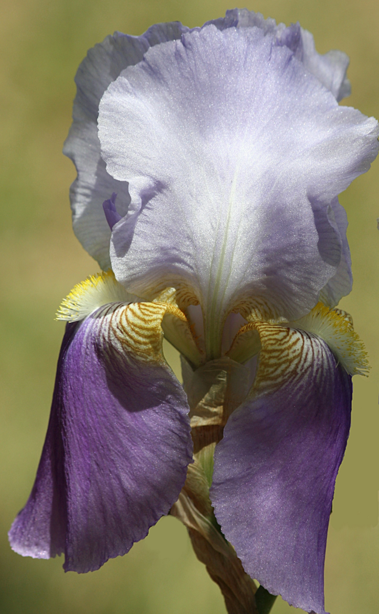 Purple bearded iris from my garden.