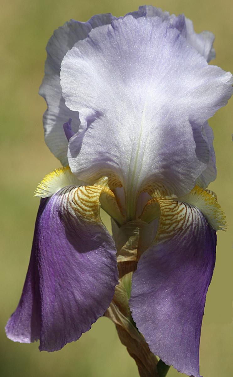 Purple bearded iris from my garden.