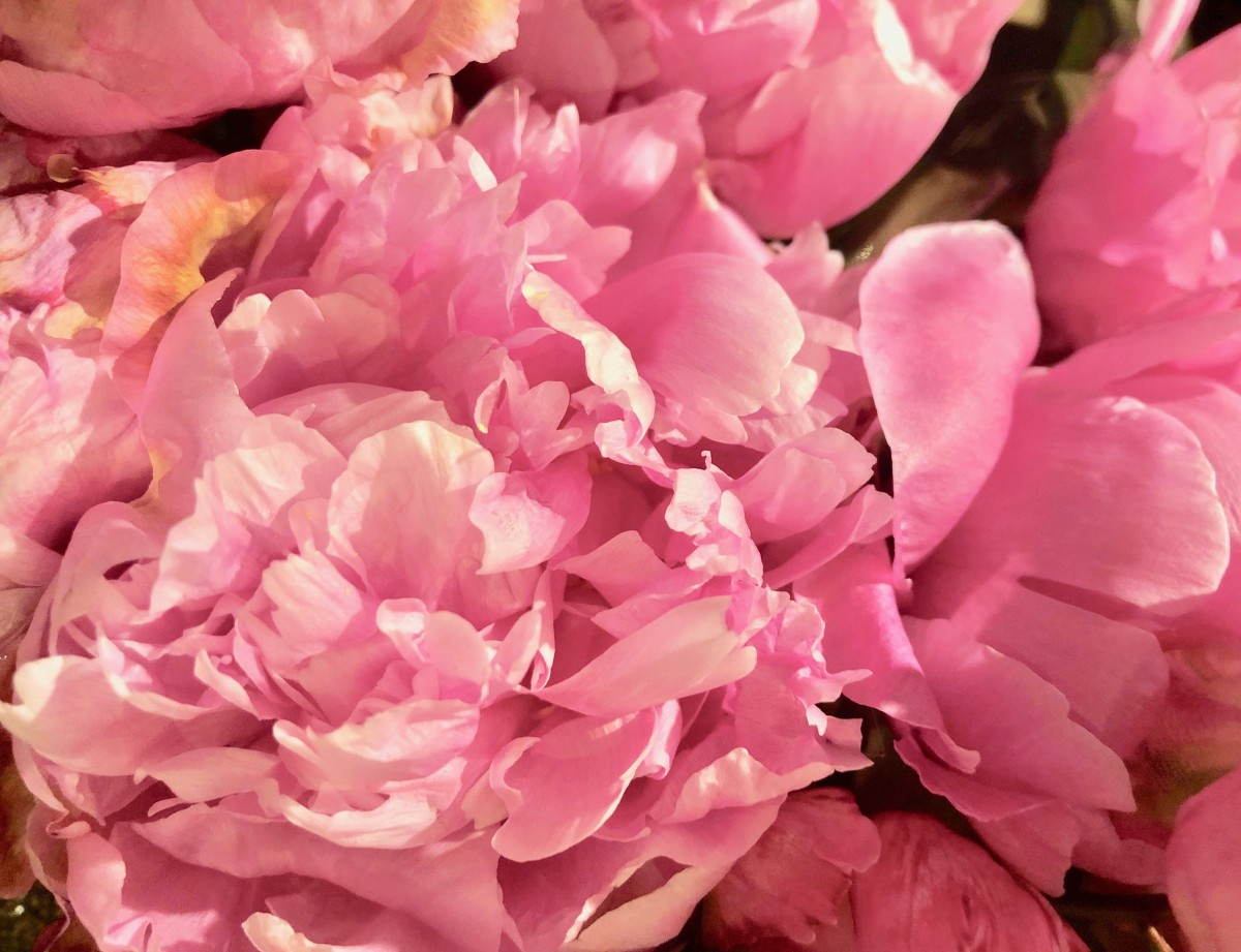 """The Peony Is Known as """"The Queen of All Flowers"""""""