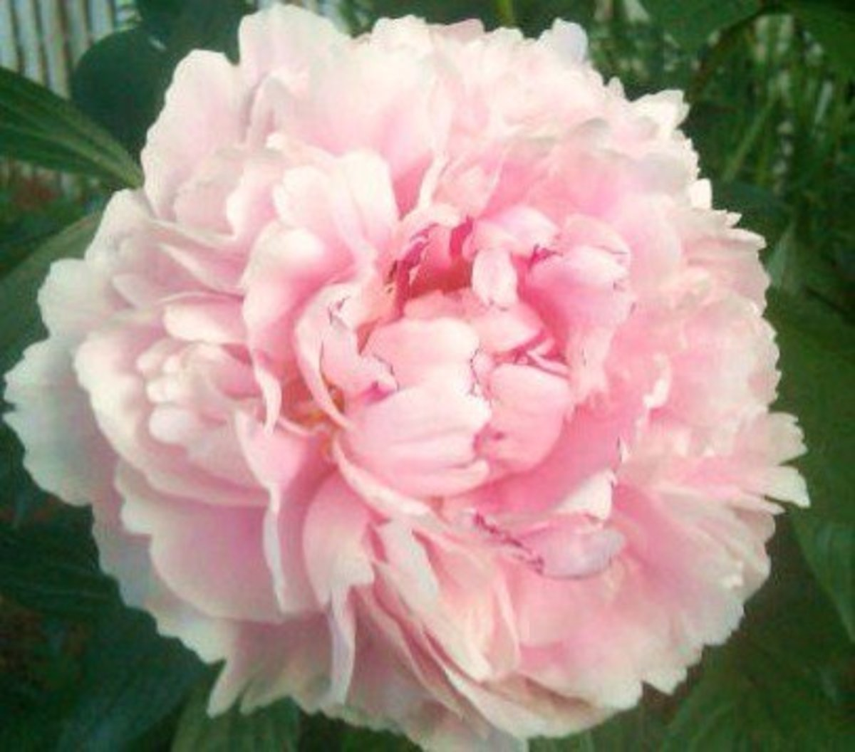 The first peony to open at our former home in Zone 7b. Its bud is shown below.