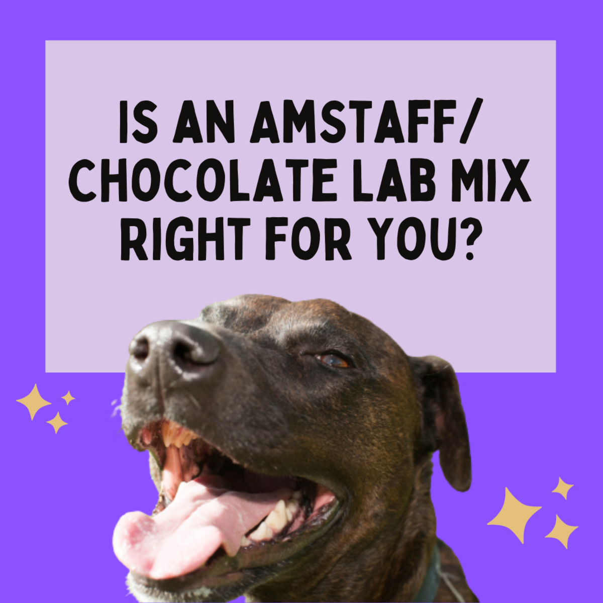 Read about one family's experience with an American Staffordshire Terrier/Chocolate Labrador Retriever mix, and decide if this great dog is a good fit for you.