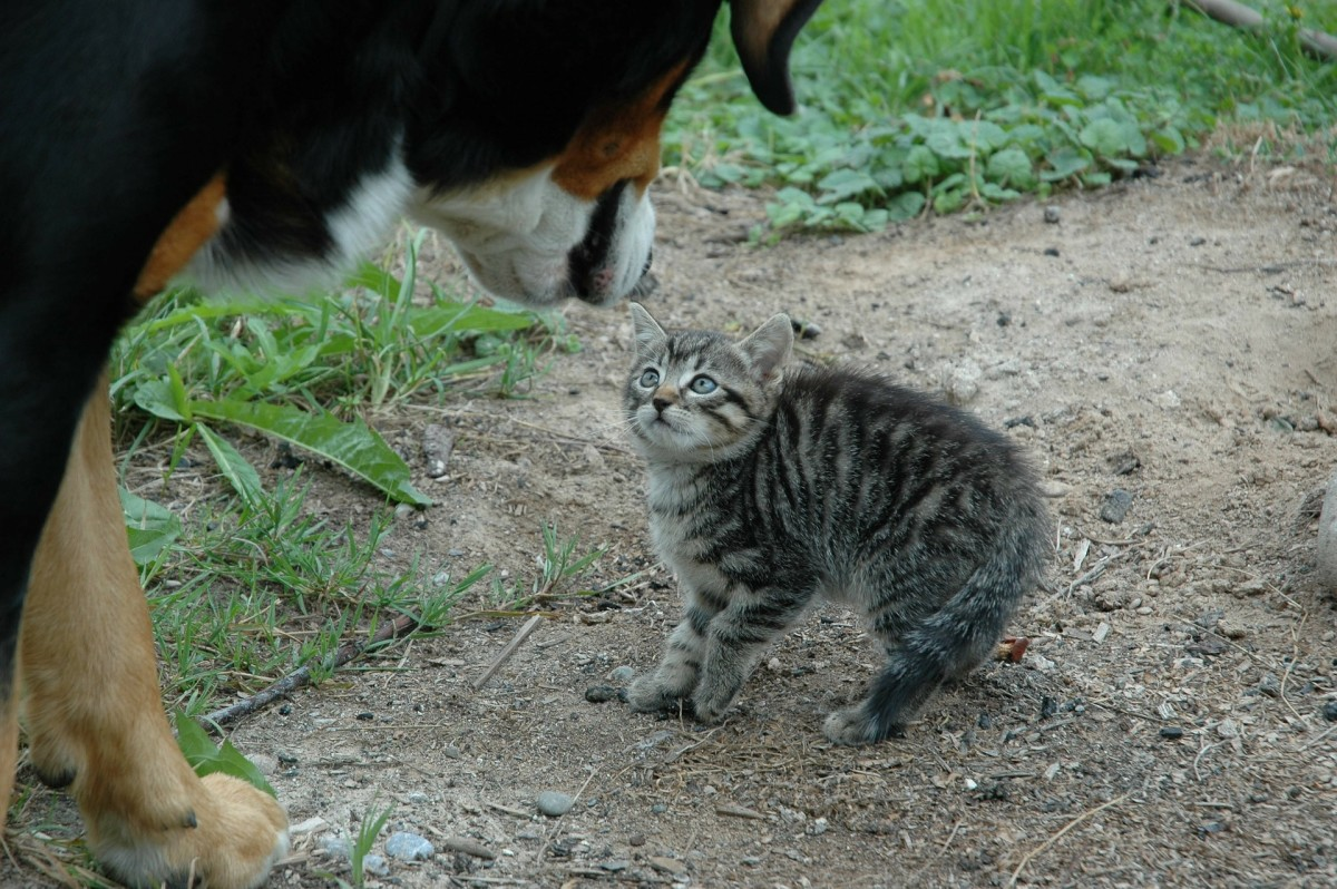 Cats sometimes raise their hackles, too. You can see how this wary kitten has raised fur along its back.