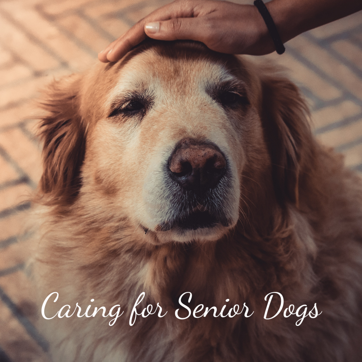 How to Care for an Elderly or Aging Dog