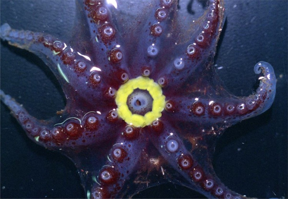 The yellow bioluminescent ring on this female octopus (Bolitaena Pygmaea)