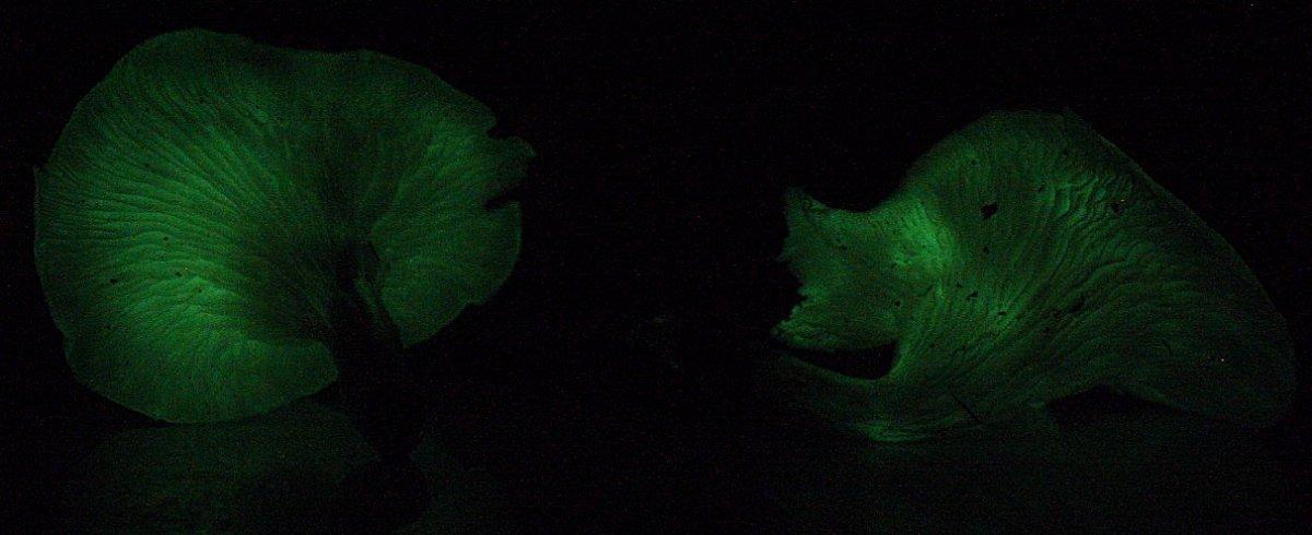 Omphalotus Nidiformis showing bioluminescence