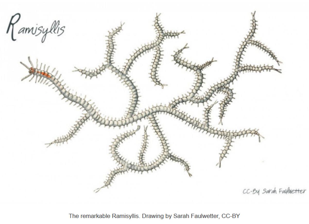 Ramisyllis multicaudata as depicted by an Australian Academy of Science artist