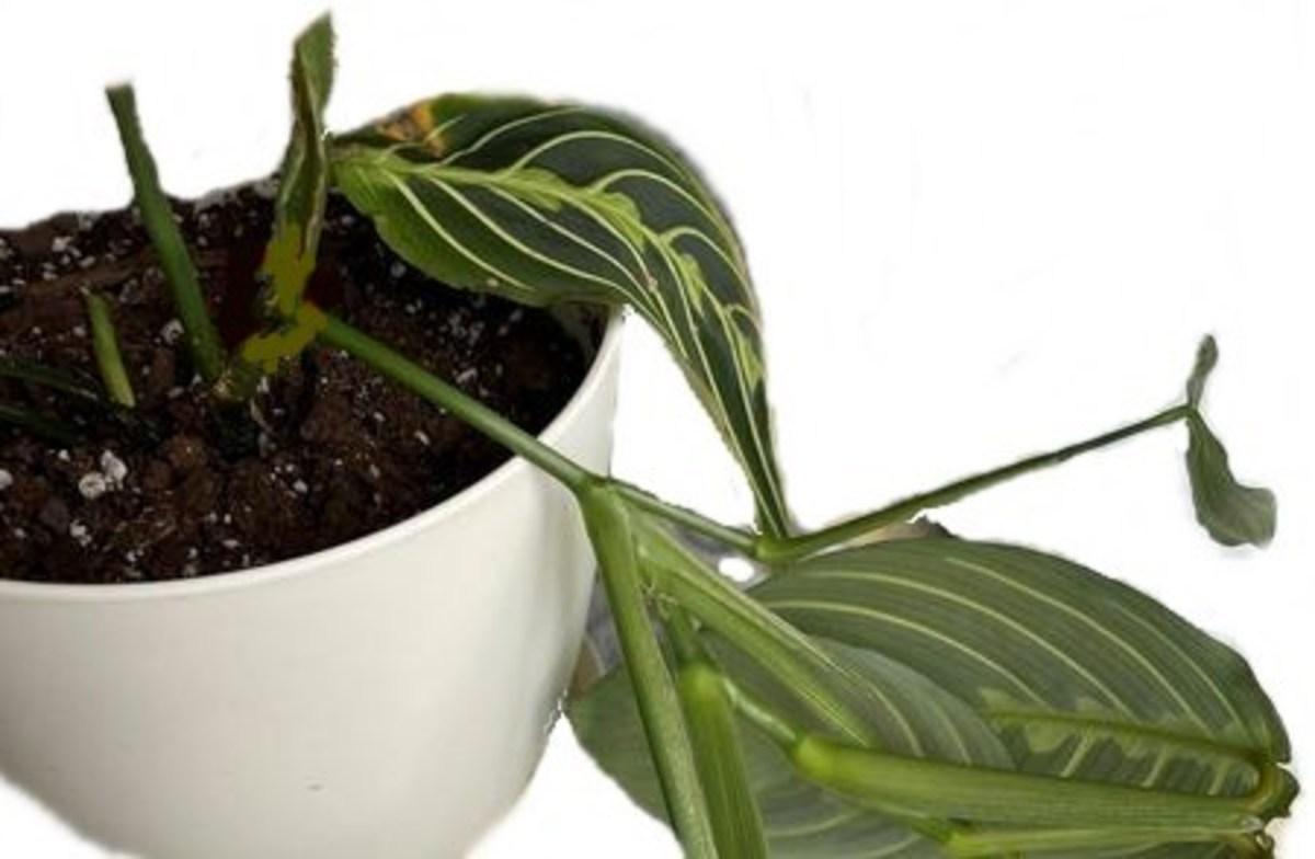 Prayer Plant With Broken Stem
