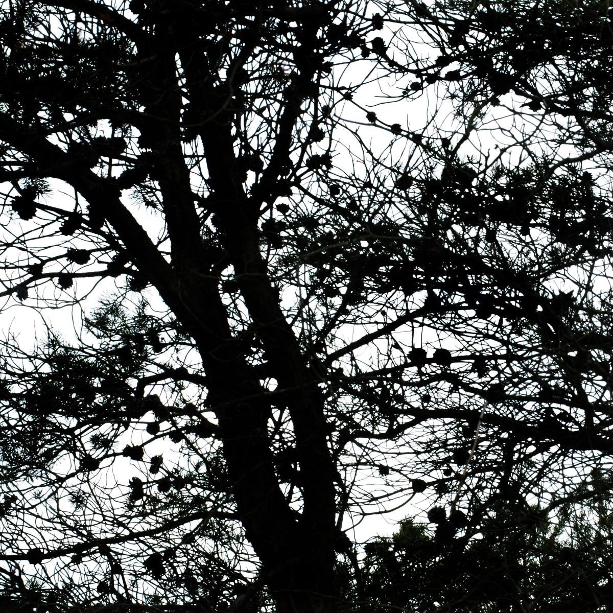 JACK PINE SEED CONES REMAIN INDEFINETLY ON TREE