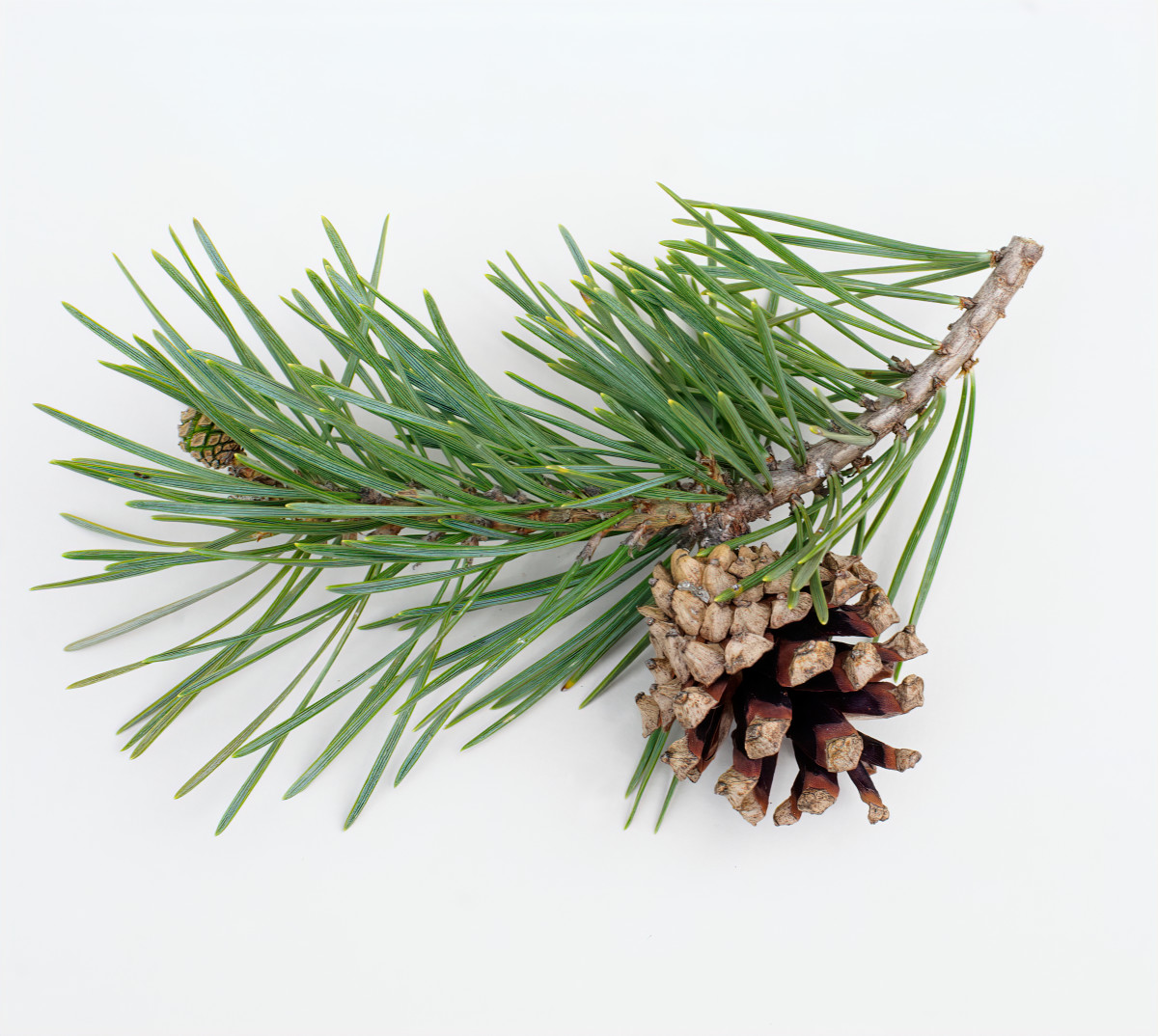 SCOTS PINE TREE BRANCH WITH SEED CONE