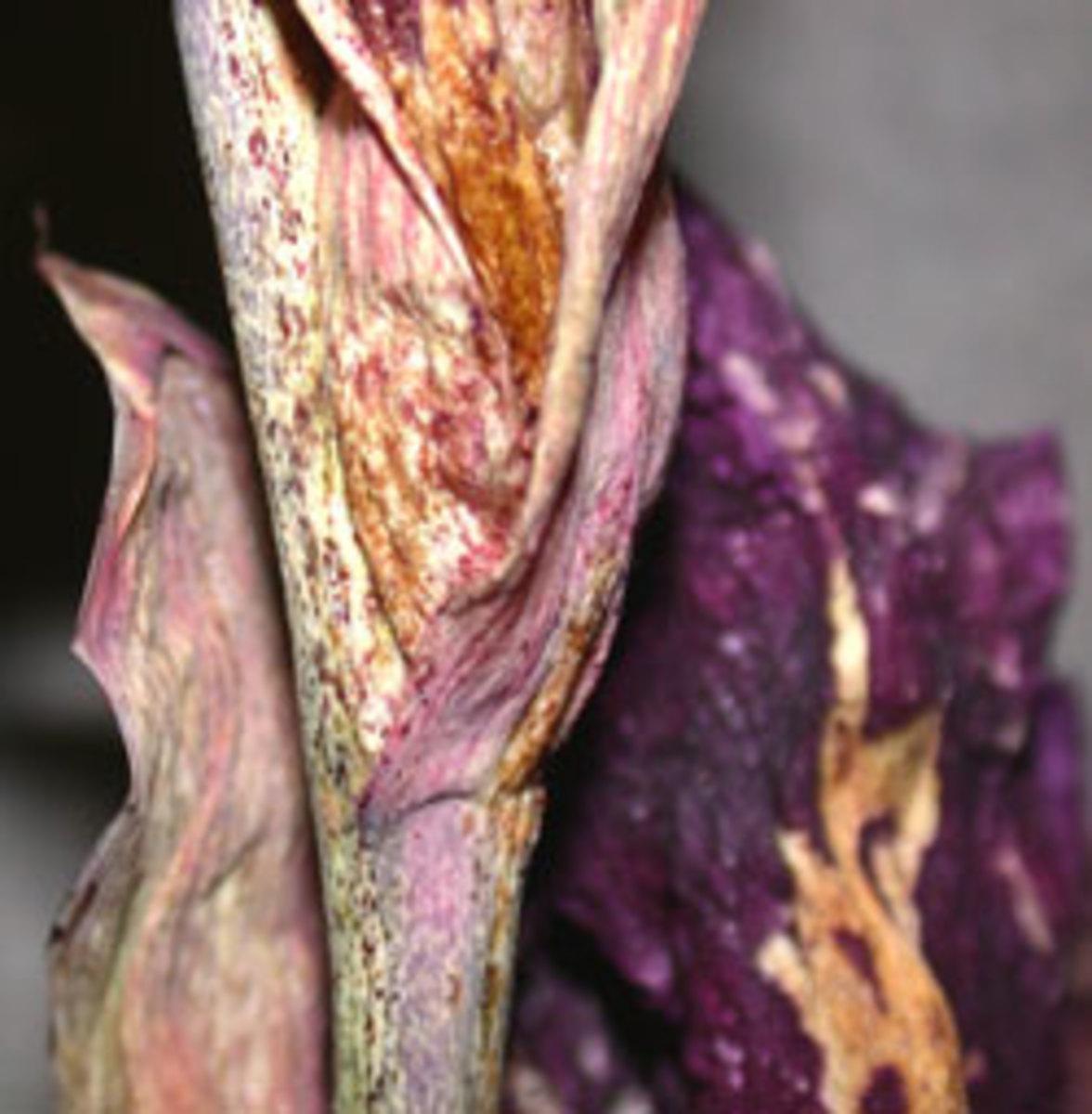 gladiolus thrip damage
