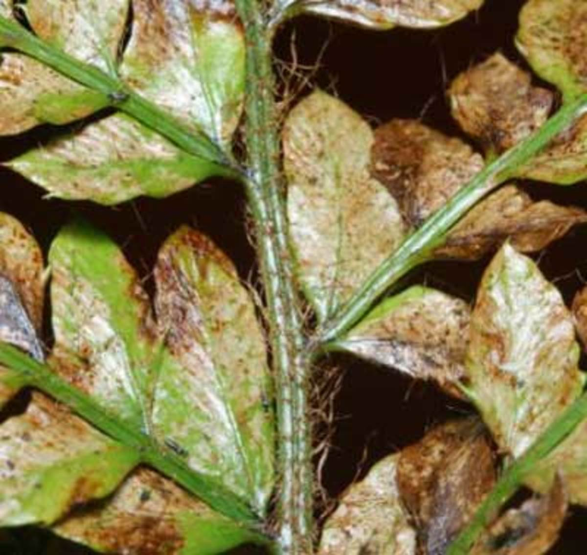 Damage on wood fern because of greenhouse thirps