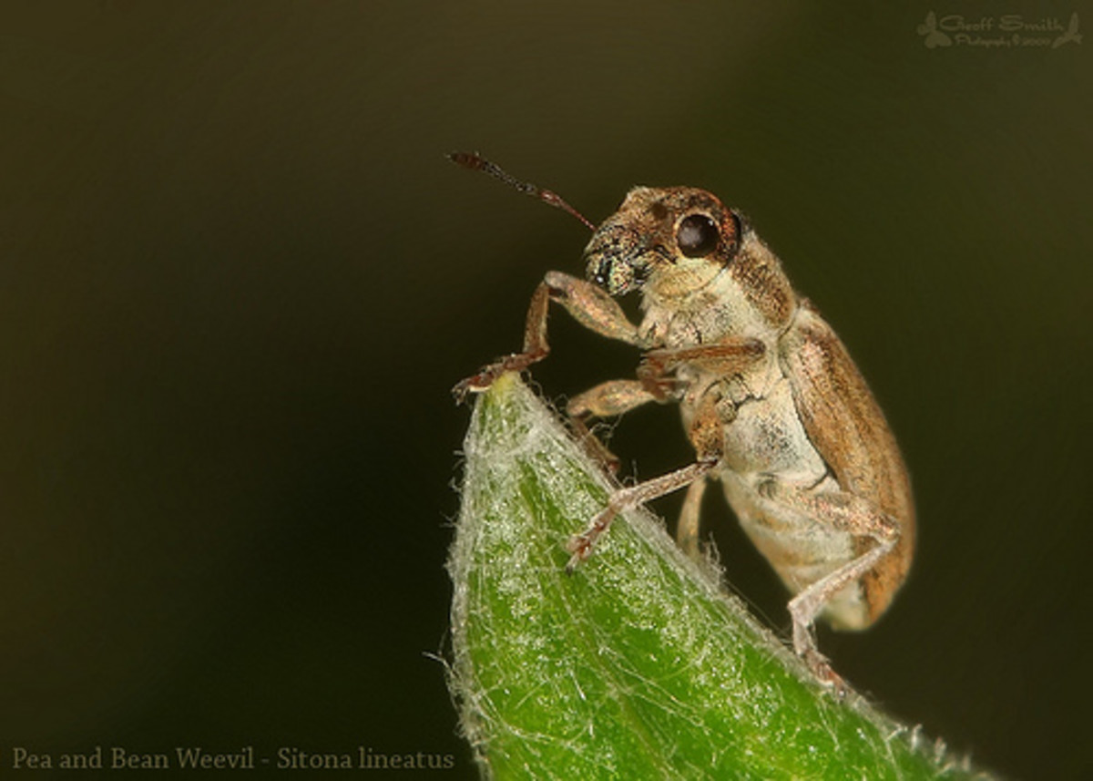 Pea and bean weevil