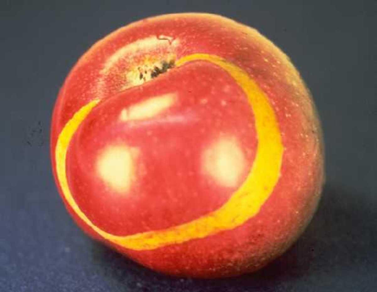 Apple sawfly damage