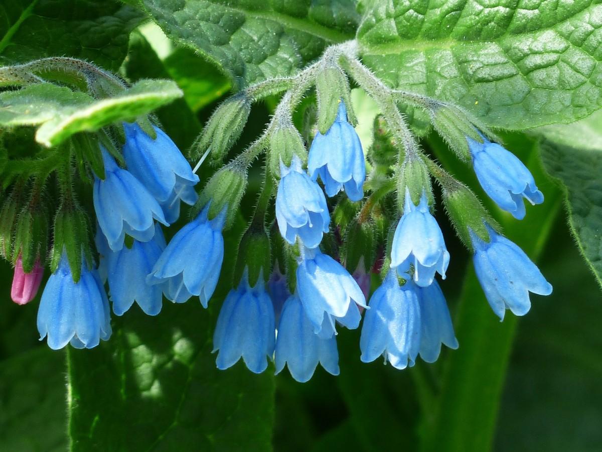 Pretty blue comfrey flowers.