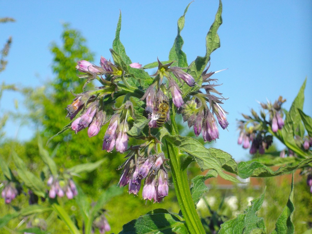 Comfrey flowers can be yellow, white, red, blue, or purple.