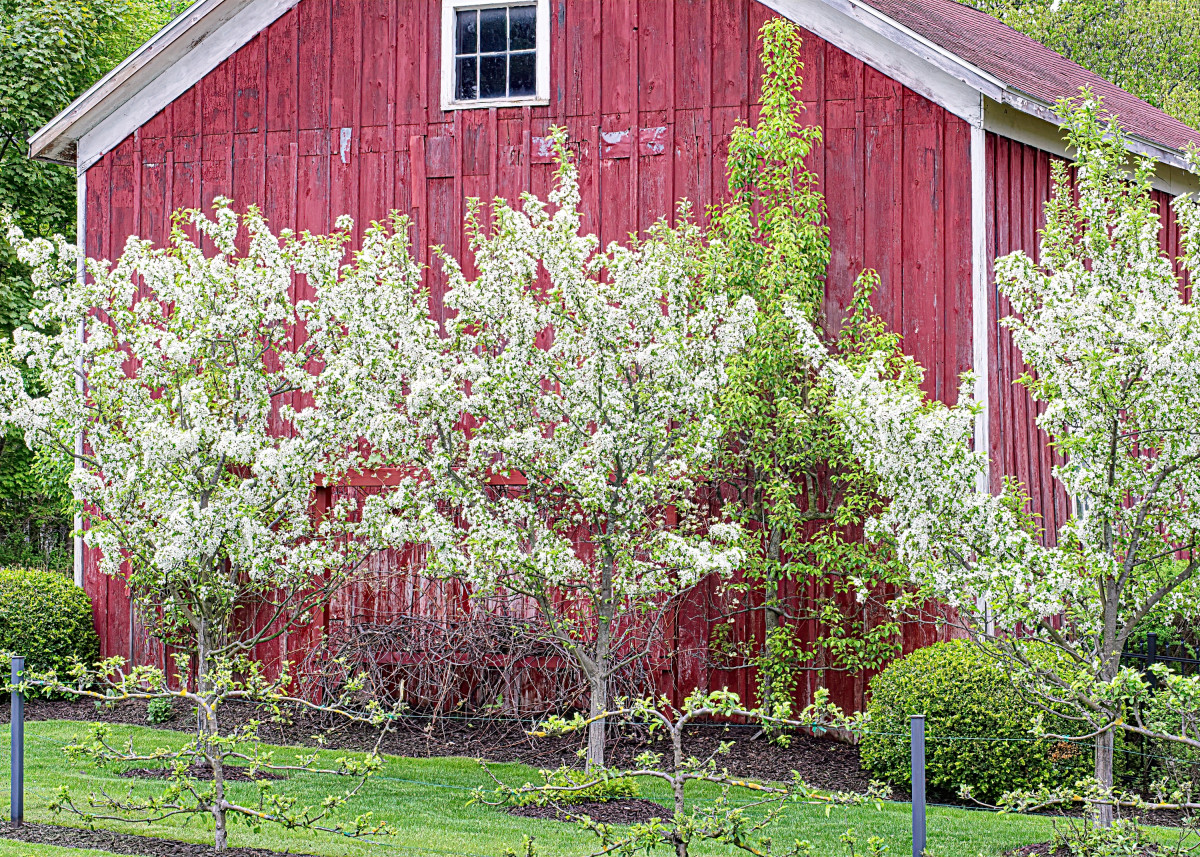 Young Apple Trees in Bloom